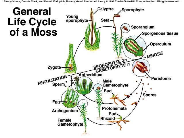 Bryophyte asexual reproduction
